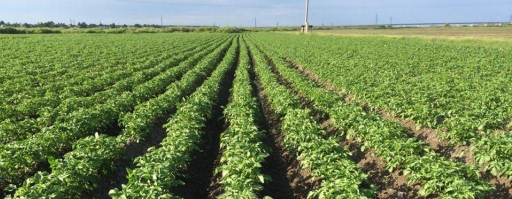 Рентабельность выращивания картофеля в Украине ниже нуля
