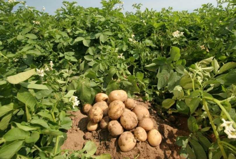 Цена на картофель в Украине