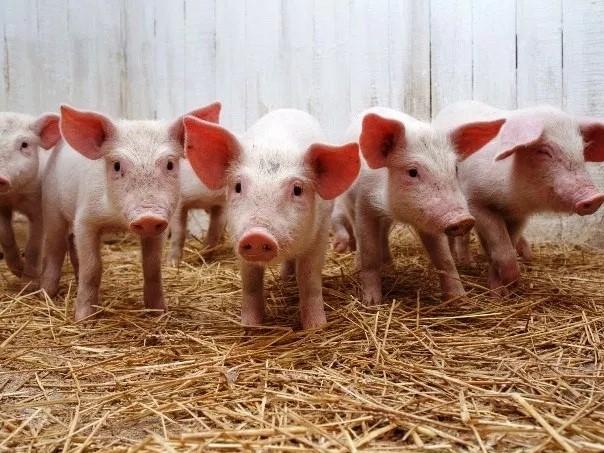 Прогноз цены на свинину в 2019 году - цена живой свиньи в Украине
